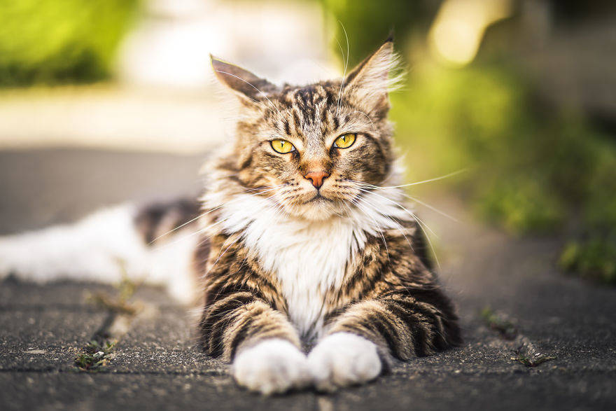 Beautiful-Neighborhood-Cat-Turns-Out-To-Be-A-Great-Meowdel-5828af1b09f1f__880