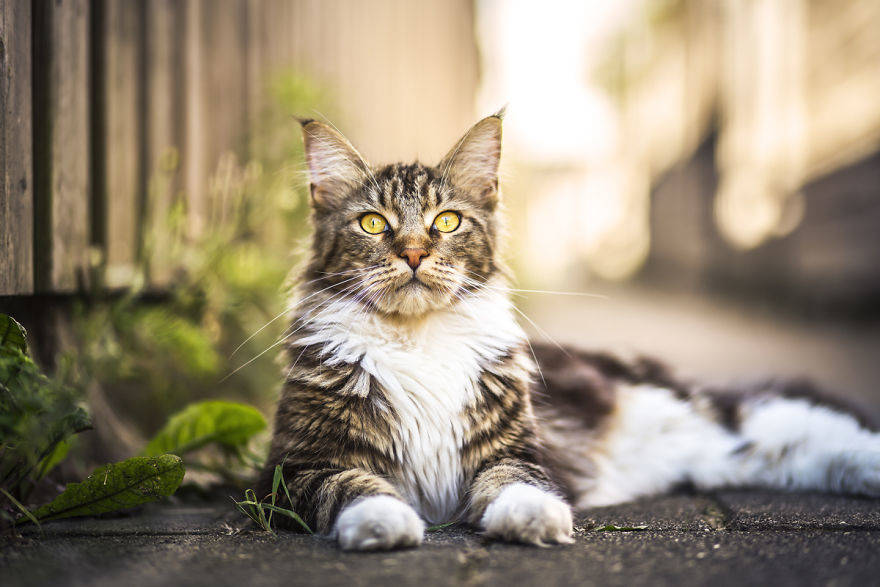 Beautiful-Neighborhood-Cat-Turns-Out-To-Be-A-Great-Meowdel-5828af1f6a649__880
