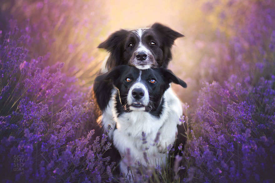 I-Photograph-Dogs-in-Lavender-Garden-581f44d0d6f7a__880
