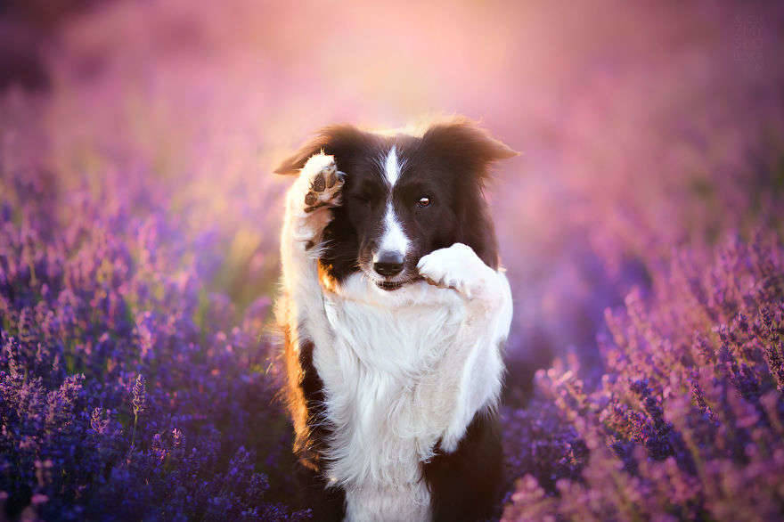 I-Visited-Lavender-Garden-with-Dogs-to-Capture-their-Happiness-581f8a5e365e3__880