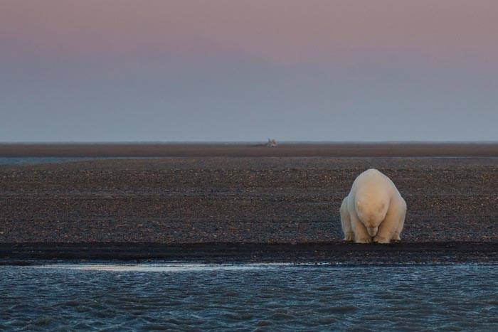 polar-bears-no-snow-photography-patty-waymire-alaska-2