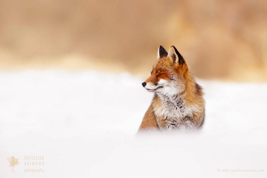 wild-fox-photography-christmas-fairytale-roeselien-raimond-1-58525f3c39a02__880