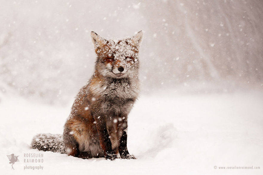 wild-fox-photography-christmas-fairytale-roeselien-raimond-3-58525f41c3f72__880
