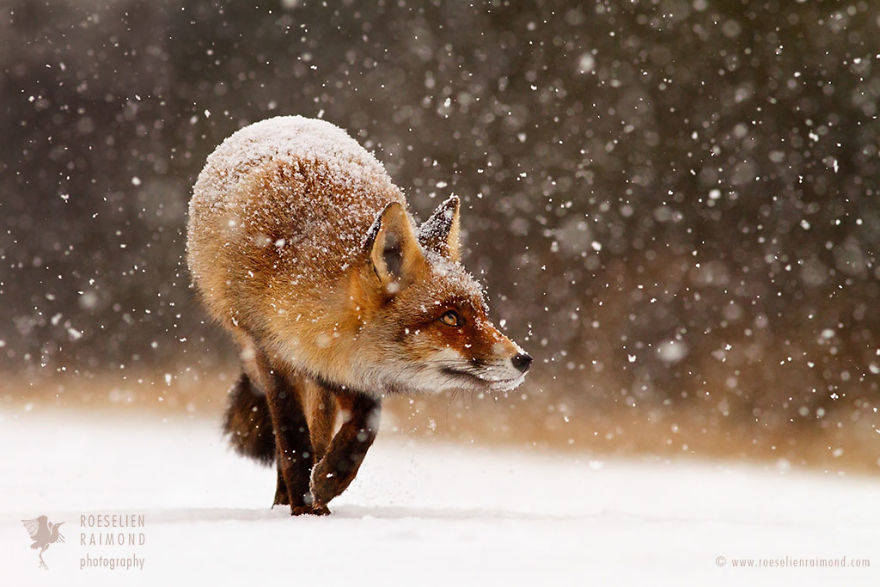 wild-fox-photography-christmas-fairytale-roeselien-raimond-4-58525f43ddd6a__880