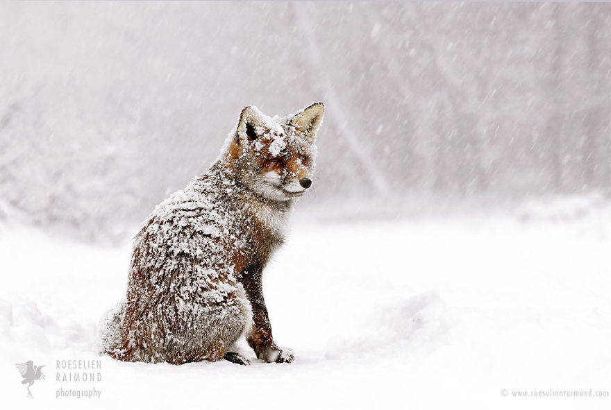 wild-fox-photography-christmas-fairytale-roeselien-raimond-5-58525f459cf12__880