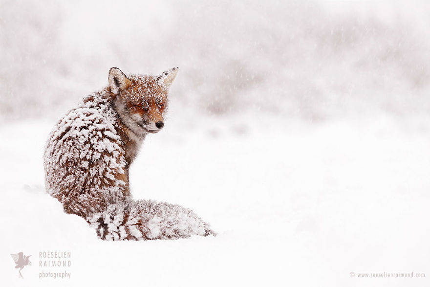 wild-fox-photography-christmas-fairytale-roeselien-raimond-6-58525f477dccf__880