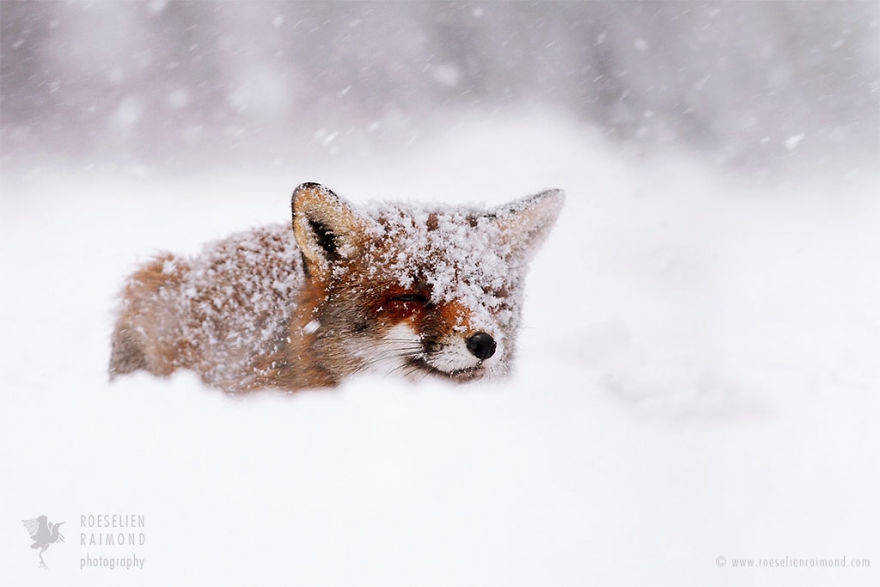 wild-fox-photography-christmas-fairytale-roeselien-raimond-8-58525f4b9a8ca__880
