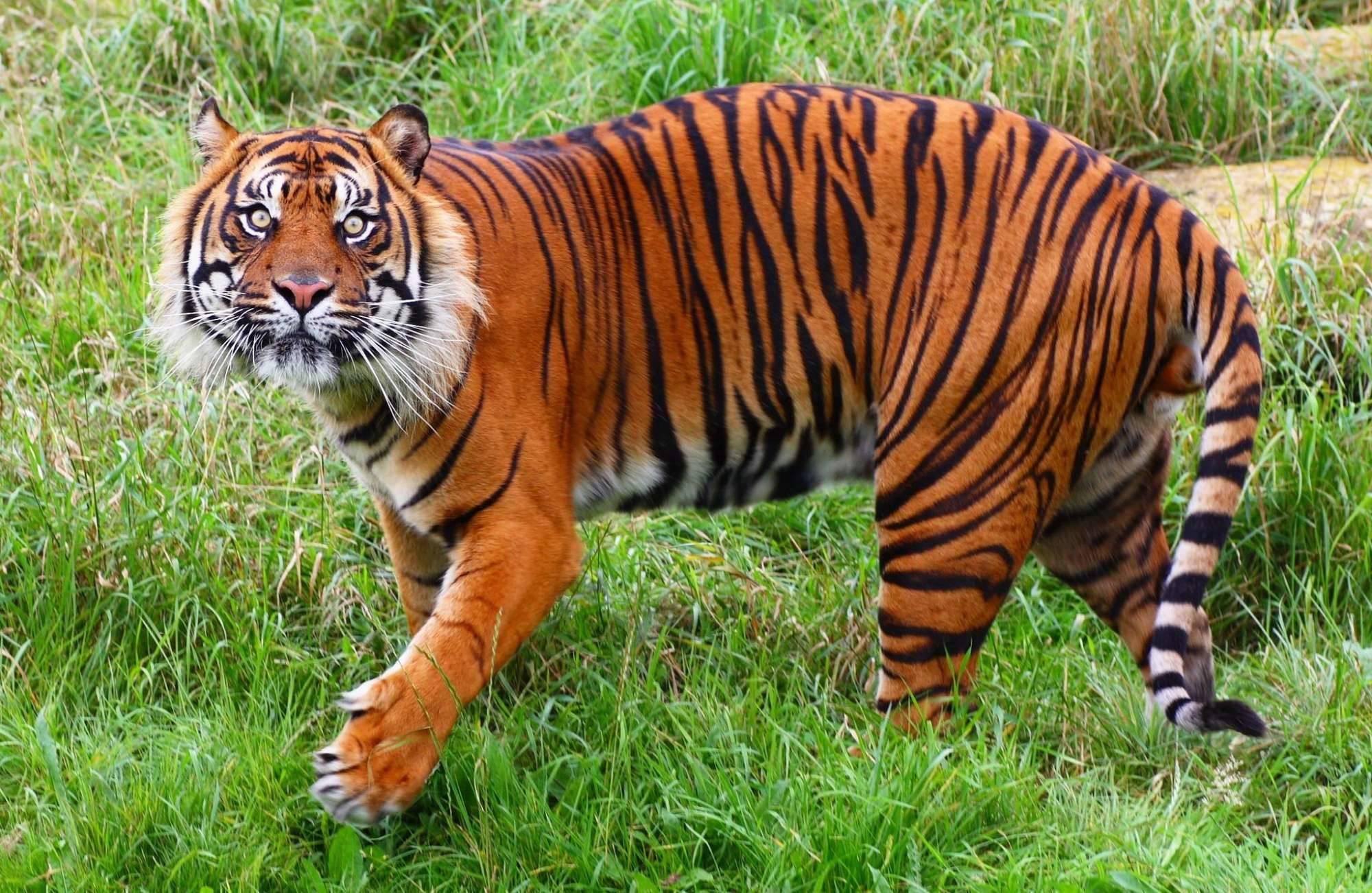 картинка где тигр девушка может