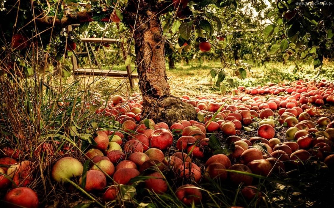 Фото 3 - почему яблоня сбрасывает яблоки и что делать