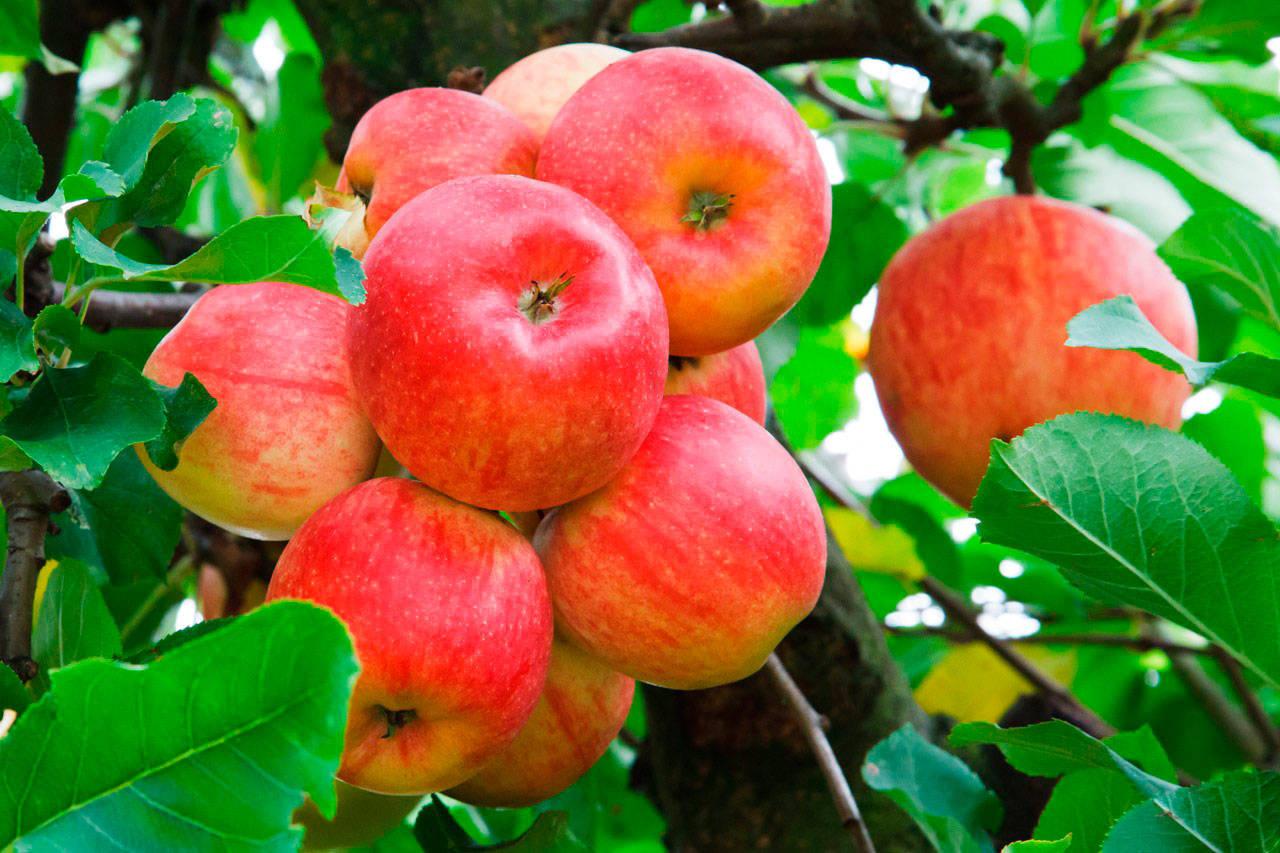 Фото - почему яблоня сбрасывает яблоки и что делать