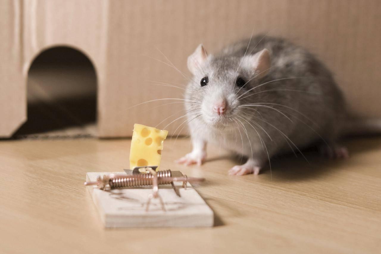 Картинка крыса с сыром