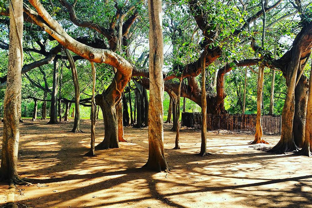баньяновый лес индия