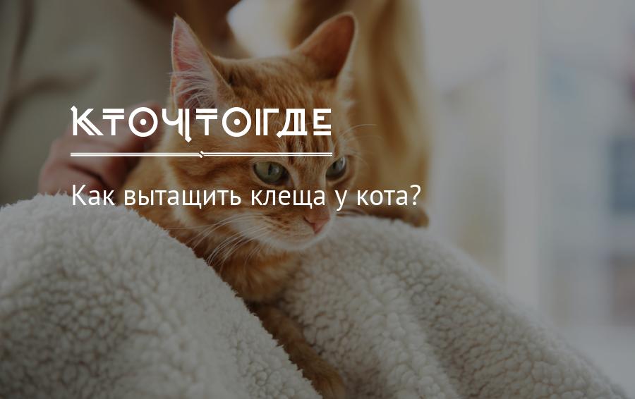 Как вытащить клеща у кота или кошки в домашних условиях